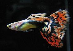 Guppies Freshwater Fish