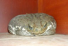 OMG what a fat toad Animals And Pets, Cute Animals, Cute Frogs, Frog And Toad, Cute Little Baby, Primates, Animal Sculptures, Amphibians, Friends