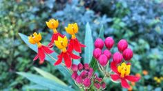 Butterfly Weed Flowers, Seed pods, and Seeds - The Daily Bloom