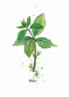 Mint Watercolor; water colors herbs, botanicals