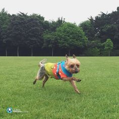 Go Tio go!!  (...ps loving your glad-rags today!)  #opctio #dogs #yorkie #olliespetcare