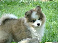 Image result for Pomsky