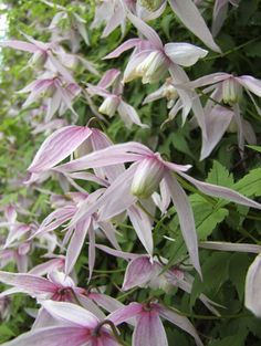 Clematis 'Willy' is a robust bloomer in the early spring.