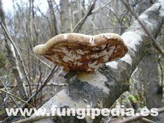 Trichoderma pulvinatum es un hongo del orden Sphaeriales también conocido como Hypocrea pulvinata, .. ver más información.