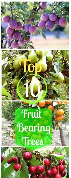 12 Popular Fruit Bearing Trees To Plant In UR Home Garden.