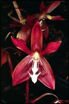 Flower Close-up of Houlletia odoratissima Unusual Flowers, Wonderful Flowers, Types Of Flowers, Beautiful Flowers, Flower Close Up, My Flower, Red Orchids, Orchid Flowers, Fruit Plants