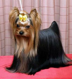 Do you know about Yorkshire Terriers? by L&G PET Photo by Pixabay from Pexels The Yorkshire Terrier originally originate. Yorkshire Terrier Teacup, Yorkshire Terrier Haircut, Yorkshire Terrier Puppies, Yorshire Terrier, Terrier Breeds, Yorkie Haircuts, Rottweiler Puppies, Yorkie Puppy, Small Dog Breeds