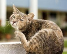 Les #allergies chez le #chat : causes et symptômes #grattage