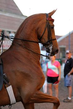 Saddle Horse Report/// I want to work up to the open 3 gaited division....Look at that neck! Beautiful!