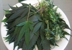 Cannabis The Most Important Vegetable on the Planet, 2nd August 2015  By Carolanne Wright