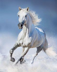 Shadowfax, of the race of long lived Mearas. Beautiful Arabian Horses, Most Beautiful Horses, Animals Beautiful, Beautiful Horse Pictures, Cute Horses, Pretty Horses, Horse Drawings, Animal Drawings, Cavalo Wallpaper