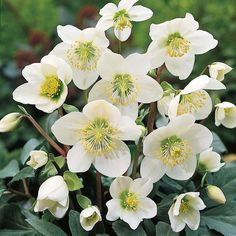 Christmas rose - Helleborus niger.  Good for shade garden.  Blooms in winter (anywhere from Dec to April depending on conditions).