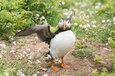 Puffin on Skomer island Wales Island, Bird, Photography, Animals, Photograph, Animales, Animaux, Birds, Fotografie