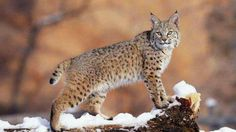 Bobcat - I loved the one the walked between then sat down between my 7 yo son and his friend.