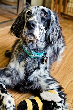 English Setter with bee toy and bee collar! #LuckyFionaCollars