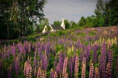 VisitNH - New Hampshire shared Dan Houde's photo. Lovely lupines in Sugar Hill, NH