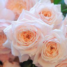 Tsumugi Japanese Rose from Wabara
