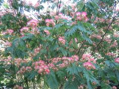 Mimosa tree - I think I love these because my grandmother had one in her yard.