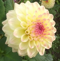 "Janz Kalena Dahlia (6-8"" bloom): yellow and pink."