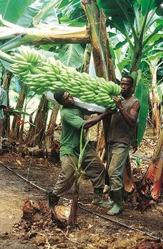 HOLY BANANAS! #Zambia