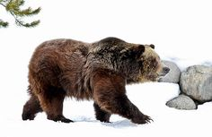 Wildlife photography of a grizzly bear in the winter snow.  http://fineartamerica.com/featured/winter-bear-walk-athena-mckinzie.html