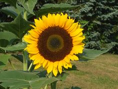 7  Mistakes to AVOID when Harvesting and Roasting Sunflower Seeds