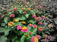 Beautiful Irene Lantana