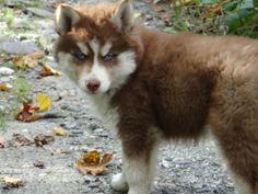 Copper Siberian Husky puppy