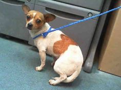 Another in Miami with no sharing on fb!! CODE RED DOGS Dogs of Miam ANGIE (A1663389) I am a female white and tan Chihuahua - Smooth Coated. The shelter staff think I am about 3 years old. I was found as a stray and I may be available for adoption on 12/08/2014. — MIAMI DADE ANIMAL SERVICES 7401 NW 74th St #Miami FL 33166 pets@miamidade.gov Ph 305-884-1101
