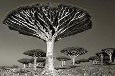 Majestueuze bomen: de oudste levende monumenten van de natuur