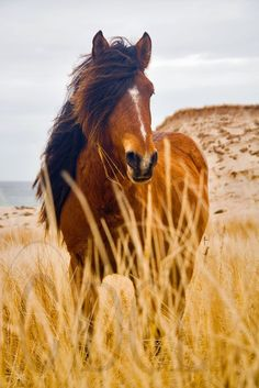 Sable Island wild horse ~ I have always wanted to visit this breathtaking place!