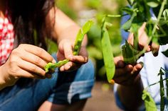 Small-scale vegetable garden plan:  There is no such thing that you can only grow edible plants like fruits, vegetables on some big land are...