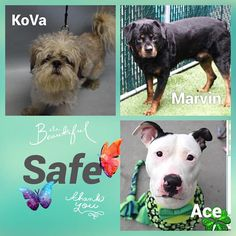 SAFE  per ACC . . ACE - #22402 Safe 4-2-2018 Brooklyn  ADOPTED!!  . . MARVIN - #23750 Safe 4-3-2018 Manhattan RESCUED!! (TBA) . . KoVa - #23673 Safe 4-5-2018 Brooklyn Rescue: All God's Creatures Inc Please honor my pledges to ➡️ http://allgodscreaturesoneark.com/donation/donation.html . .  HAPPY REST OF YOUR LIVES SWEETIES ❤️