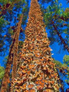 Overwintering monarchs.  This is why illegal logging hurts them.....they need the trees to remain vertical!