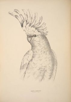 Lithograph of Major Mitchell's Cockatoo, or Pink Cockatoo,  Image number:39088007032287_0256