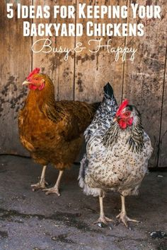 Are you trying to keep your backyard chickens from getting bored, noisy and destructive? Give these 5 ideas a try to keep your chickens happy and busy. #PurinaOrganicFeed #ad