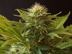 marijuana with brown hair