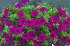 """Spesso """"sfrattano"""" dai nostri balconi i classici gerani, vessati dalla devastante farfallina tropicale che invece le snobba. Sono le surfinie, gloria dei balconi di tutta Italia. Fanno fiori, fiori e ancora fiori per tutta la stagione calda. Irrinunciabili, hanno quel fascino un pò lezioso unito però all'allegria e alla sfrontatezza delle piante stagionali che si danno tutte in un momento. Ma per i migliori risultati ci sono un paio di trucchi da conoscere: ecco quali. Le surfin..."""