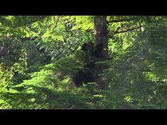 Bear Watching at Clayoquot Wilderness Resort. www.wildretreat.com #bears #blackbears