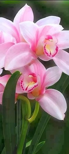 Cymbidium Orchids, meaning boat, These orchids are prized for their long-lasting sprays of flowers