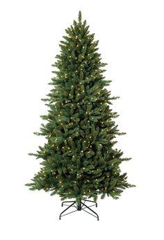 Black Hills slim Spruce Tree