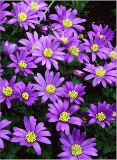 Anemone blanda. Spring flower woodland shade perennial groundcover April blue violet