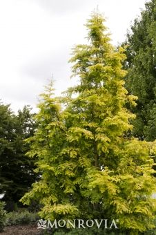 Dawn Redwood zone 11 Deciduous conifer with narrow, pyramidal form and horizontal branches. Soft green fern-like needles turn bronzy-pink to golden-apricot in autumn. Thought to be extinct until rediscovered in 1941.