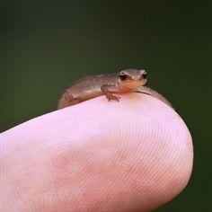 its a salamander