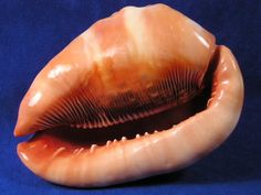 Red Helmet Seashells