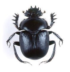 life cycle of the dung beetle | Black Sun of Khepri | Gothic and Steampunk