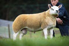 Αυτό το πρόβατο δεν είναι σαν όλα τα άλλα. Ανήκει σε μια πολύ σπάνια ράτσα Sheep Names, American Dollar, Gado, Most Expensive, Small Island, Livestock, Horse Racing, Cattle, Cute Animals