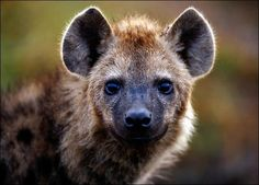 Hyena - so cute look at that face! | Animals | Pinterest | TVs Sweet ...
