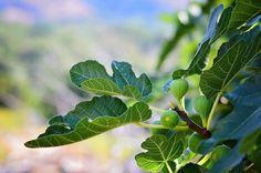 Aký škodca požiera figové listy?   Záhrada.sk Mediterranean Plants, Plants, Tree, Fertilizer, Plant Leaves, Drought, Garden Chores, Mulch, Soil