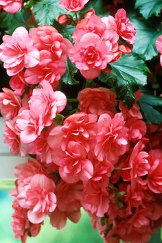 """Begonia [When a stem of one of mine broke off,  I made a hole in the soil and stuck it in, and it rooted.]  These showy blooms only require the occasional drink, and even less water in the winter. """"Plus they come in many different foliage colors and patterns,"""" says Kathie Hayden, plant information service manager at  the Chicago Botanic Garden.   GETTY"""
